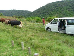 Manteku Ox & Ass9 (2)