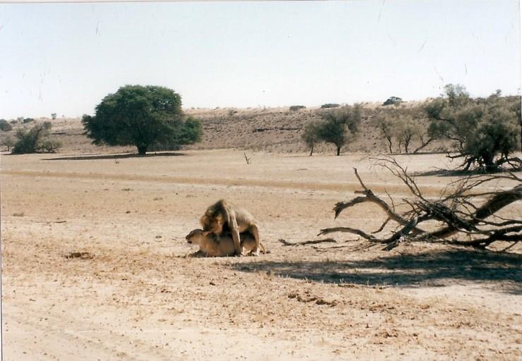 Kalahari Gemsbok (1)