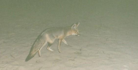 Kalahari Gemsbok (16)