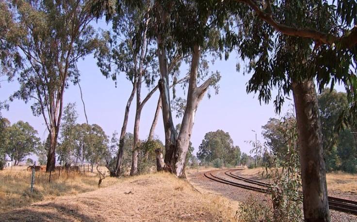 bluegum-trees
