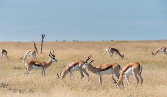 SWA_springbok