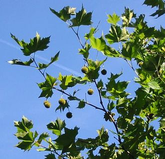 plane-tree-platanus