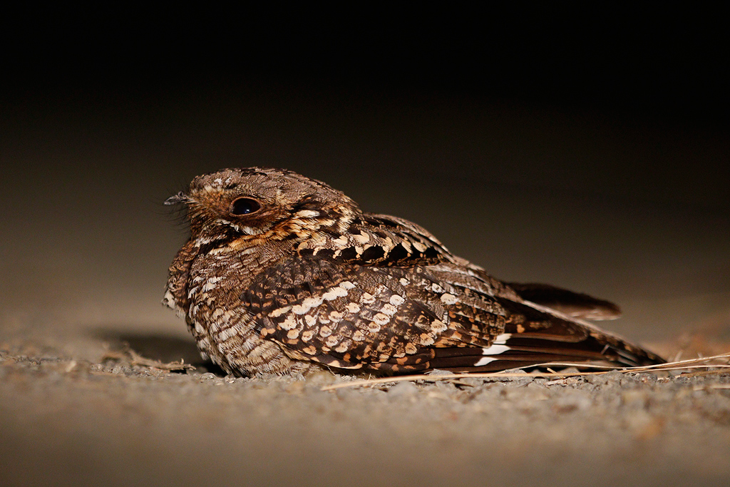 Fiery-necked nightjar_2.jpg